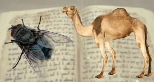 fly-wings-camel-urine
